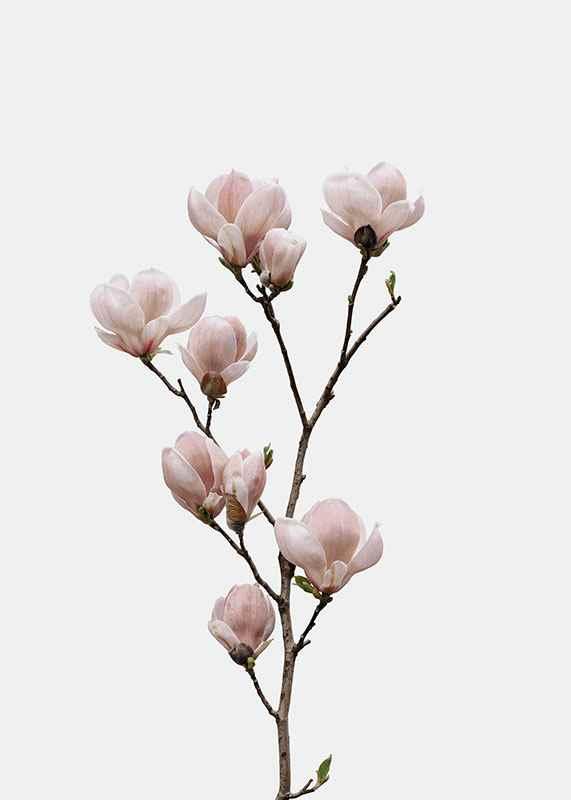 Magnolia Flower-3