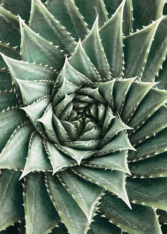 Agave Close Up No2-3