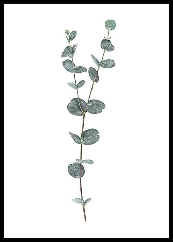 Eucalyptus No2-2