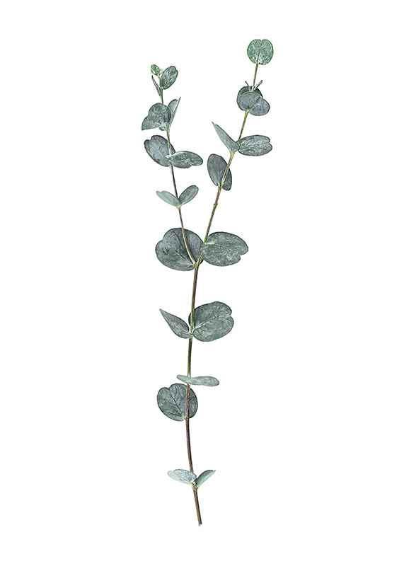 Eucalyptus No2-3