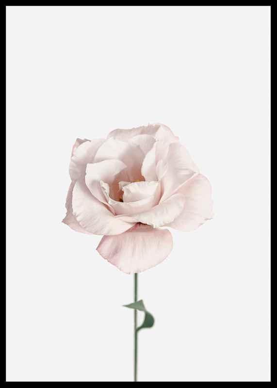 Pink Rose No1-2