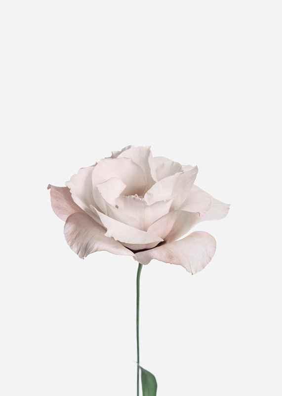 Pink Rose No2-3