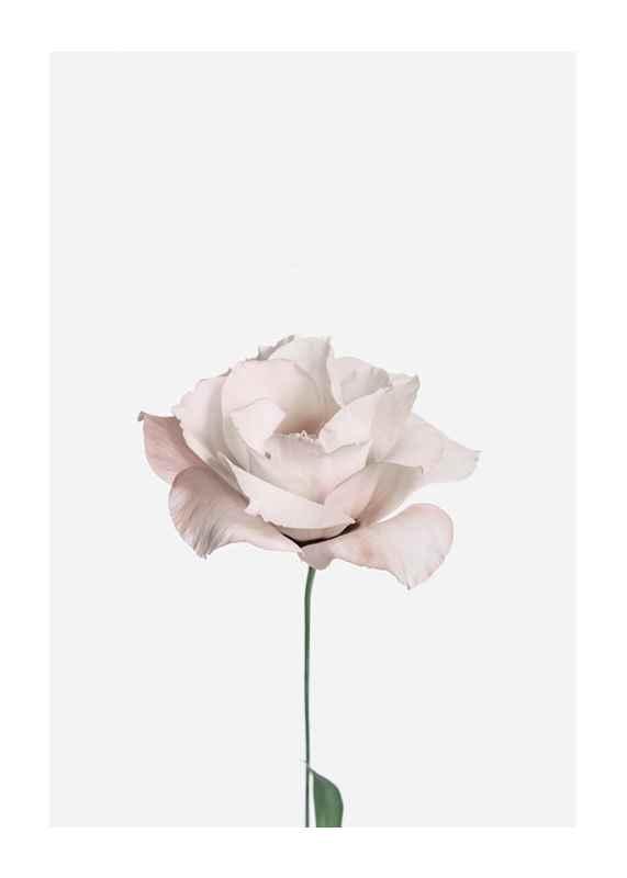 Pink Rose No2-1