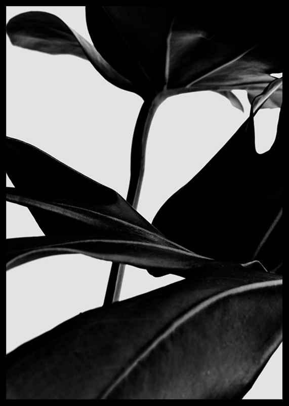 Ficus Black-2