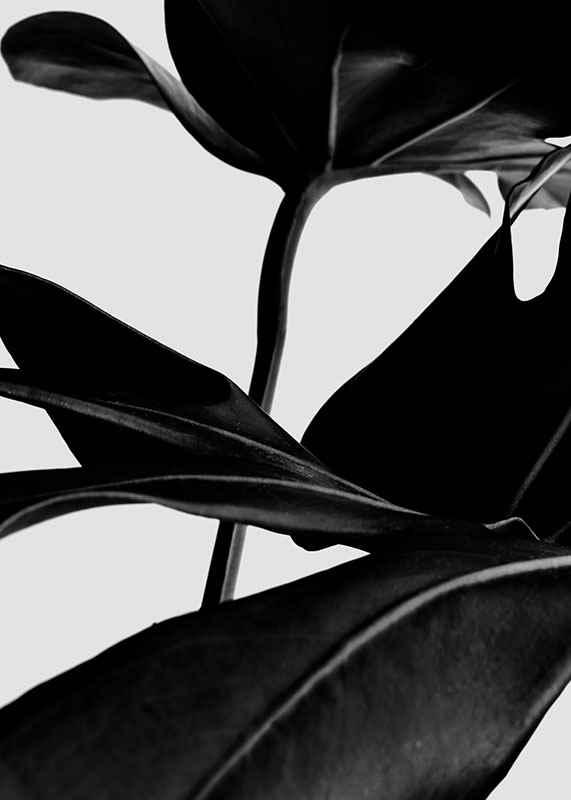 Ficus Black-3