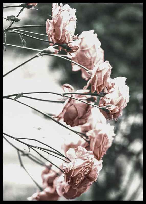 Rose Bush-2