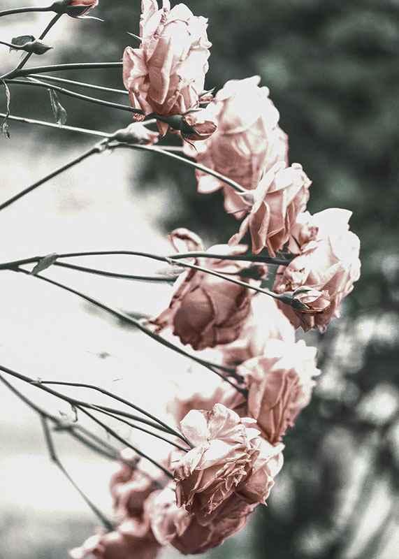 Rose Bush-3