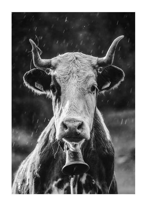 Cow With Bell-1