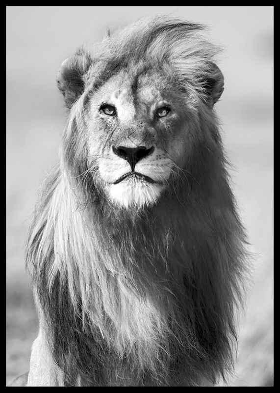 Majestic Lion-2