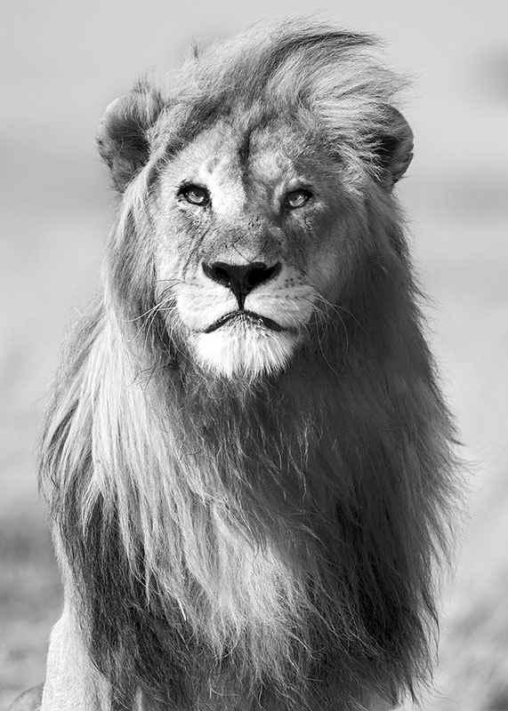 Majestic Lion-3
