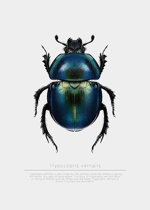Beetle Display-3