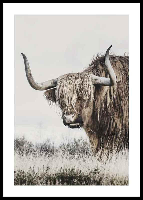 Highland Cattle-0
