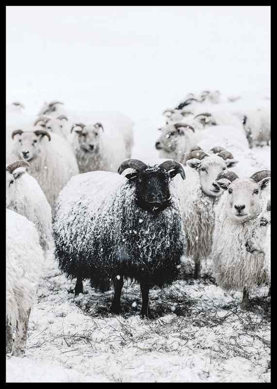 Winter Sheep-2