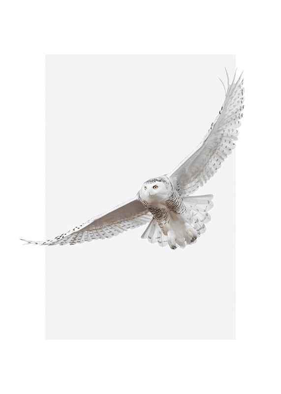 White Owl-1