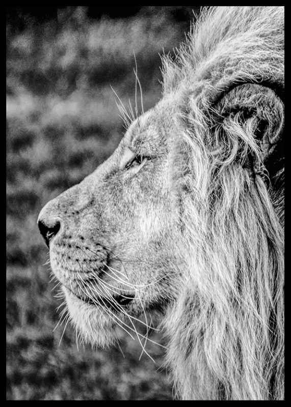 Male Lion Profile-2