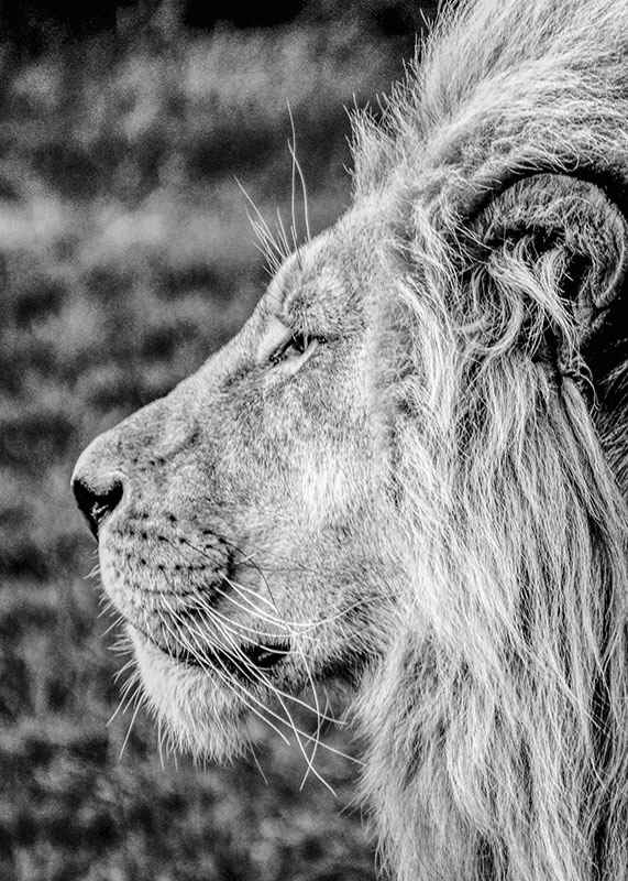 Male Lion Profile-3