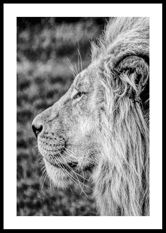Male Lion Profile