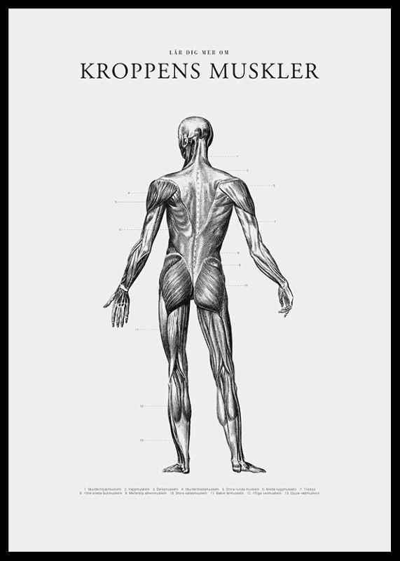 Kroppens Muskler Baksida-2