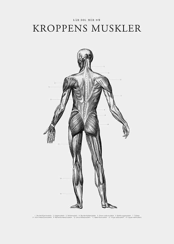 Kroppens Muskler Baksida-3