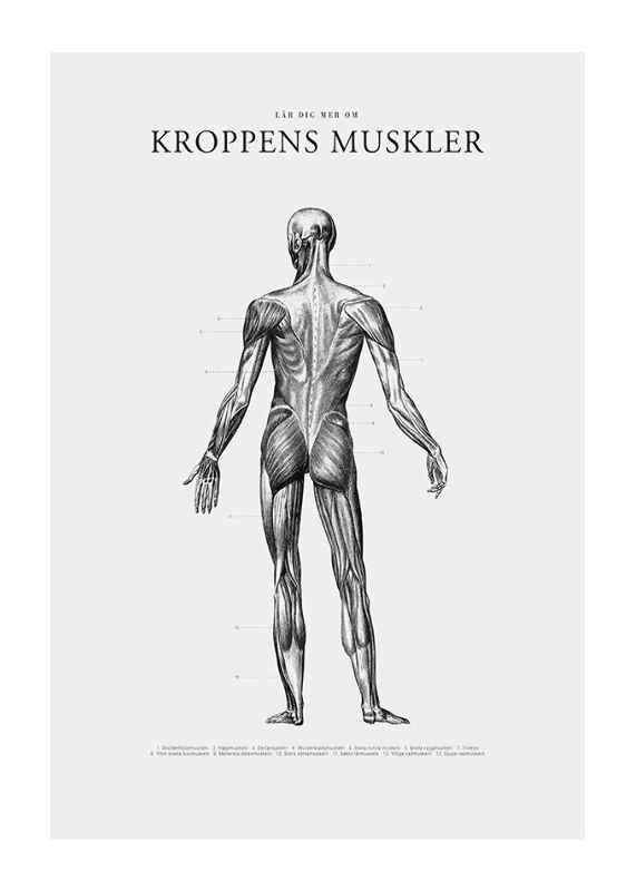 Kroppens Muskler Baksida-1
