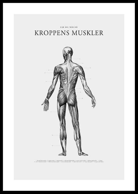 Kroppens Muskler Baksida