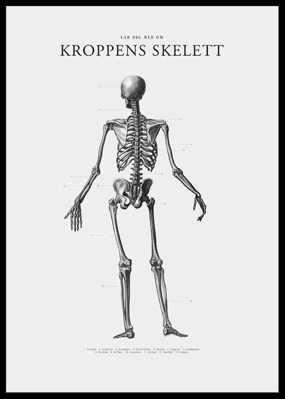 Kroppens Skelett-2