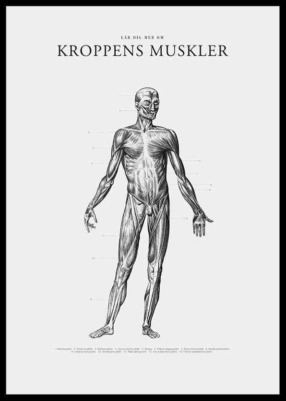 Kroppens Muskler Framsida-2