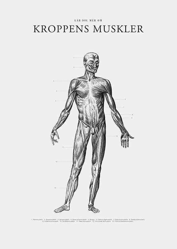 Kroppens Muskler Framsida-3