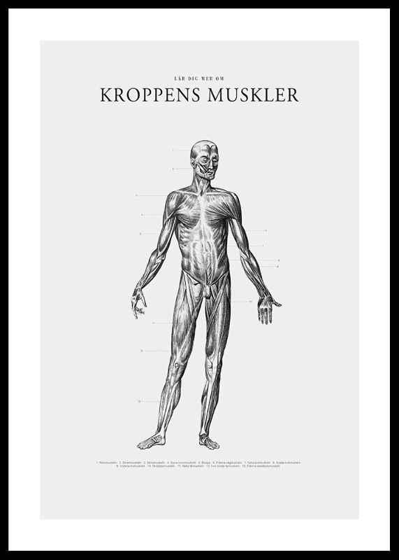 Kroppens Muskler Framsida