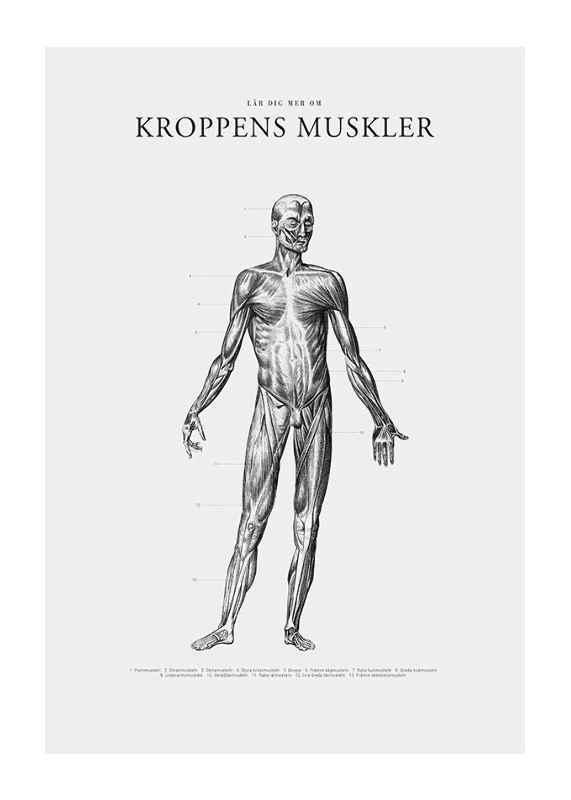 Kroppens Muskler Framsida-1