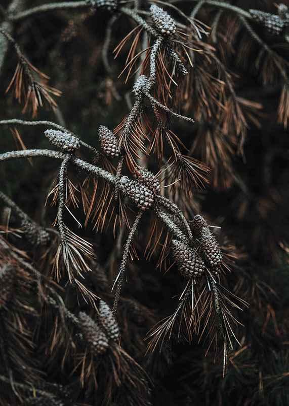Tree Cones-3