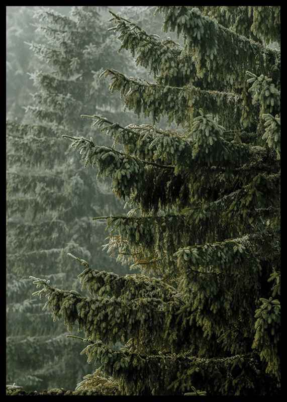 Spruce Trees-2