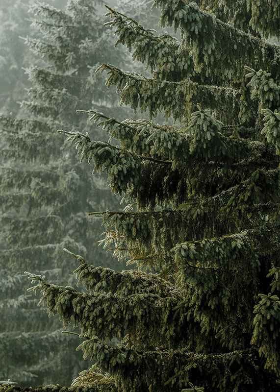 Spruce Trees-3