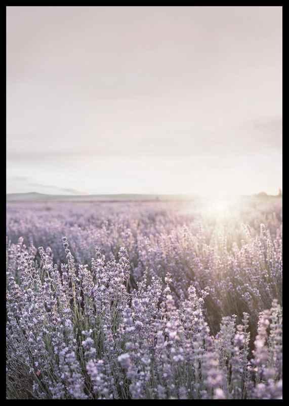 Lavender Meadow-2