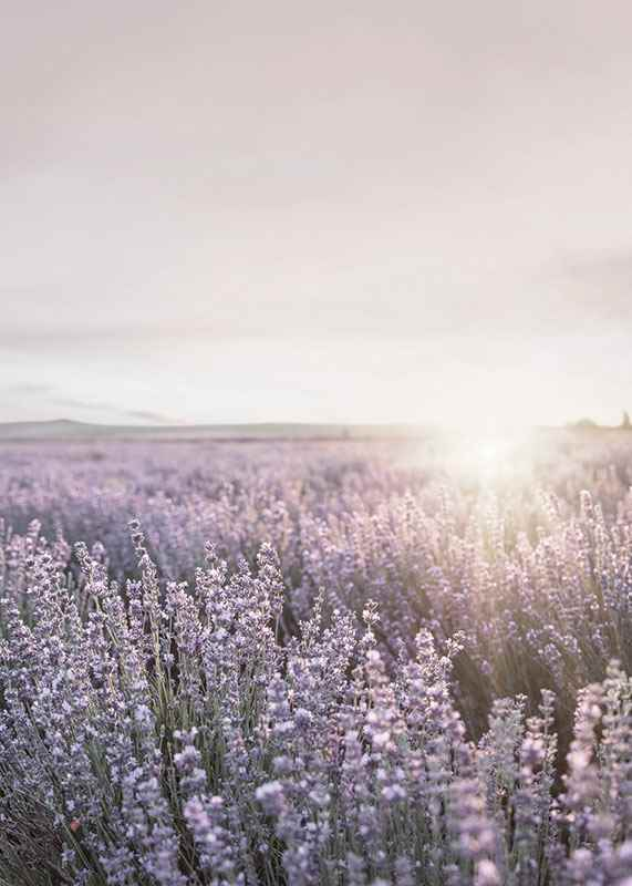 Lavender Meadow-3