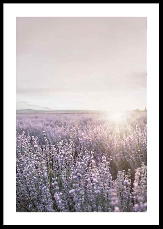 Lavender Meadow-0