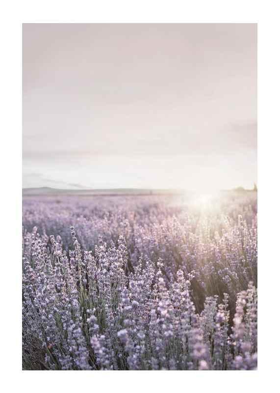 Lavender Meadow-1