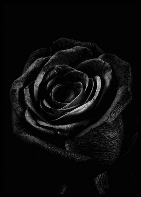 Black Rose-2