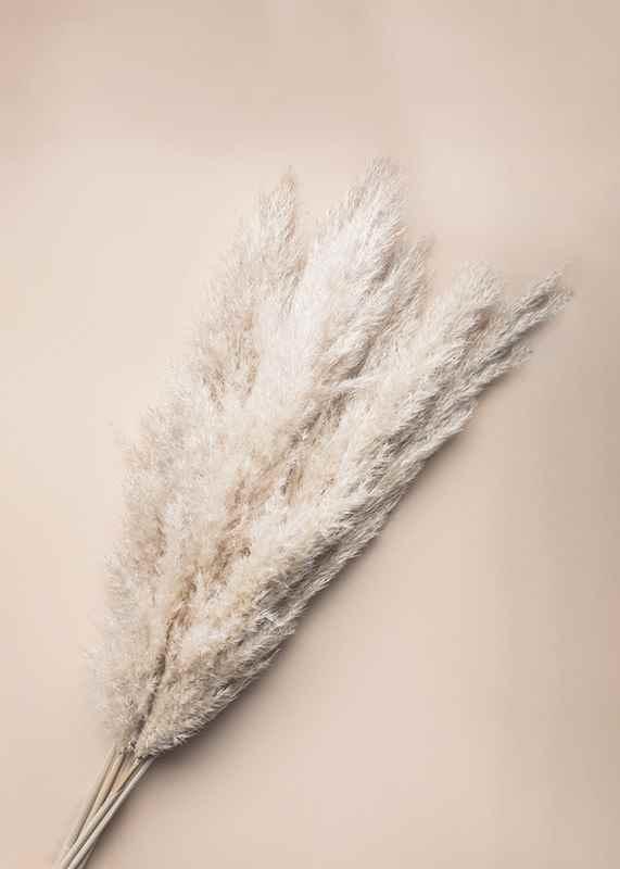 Pampas Grass-3