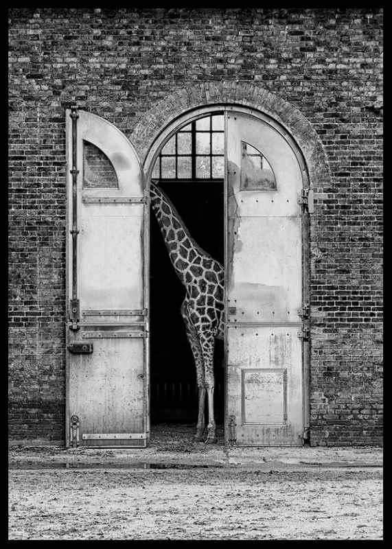 Hiding Giraffe-2
