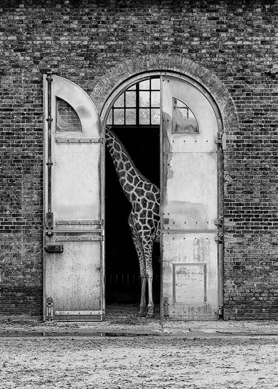 Hiding Giraffe-3