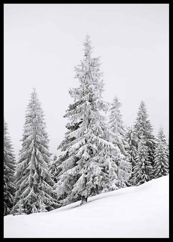 Spruce In Winter-2