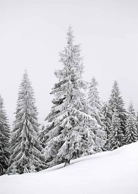 Spruce In Winter-3