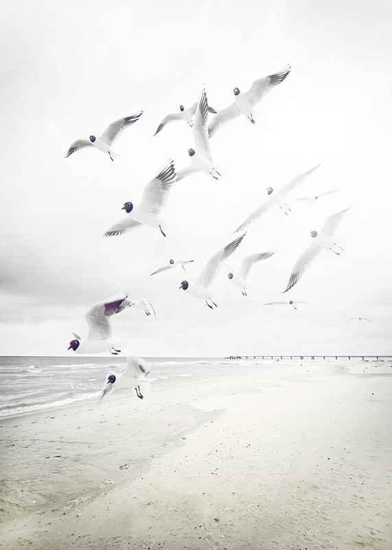 Black-Headed Seagulls-3