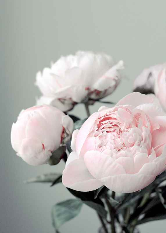 Pink peonies No1-3
