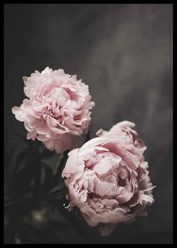Pink peonies No2-2