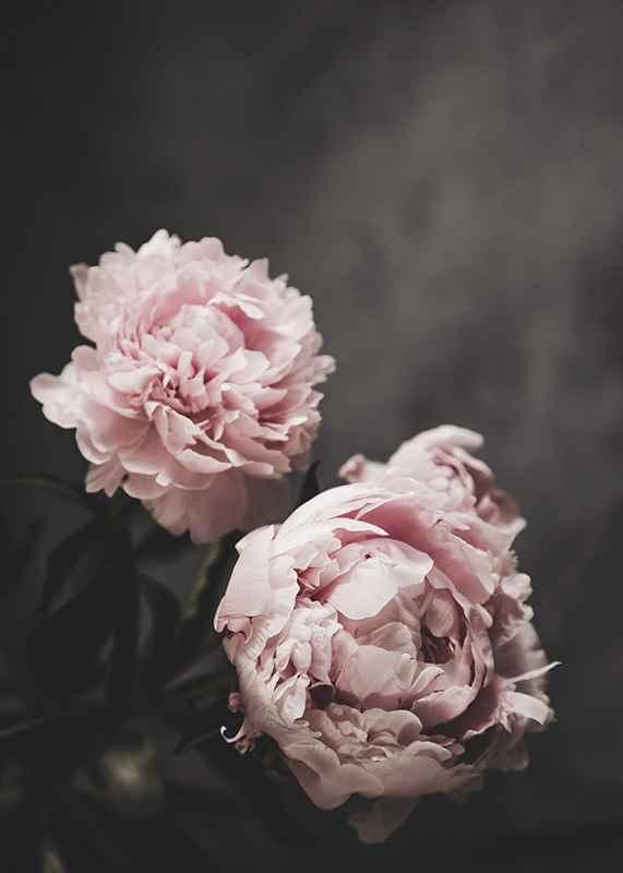Pink peonies No2-3