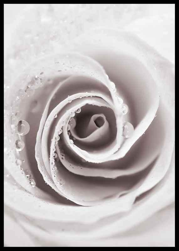 Bright Pink Rose No1-2