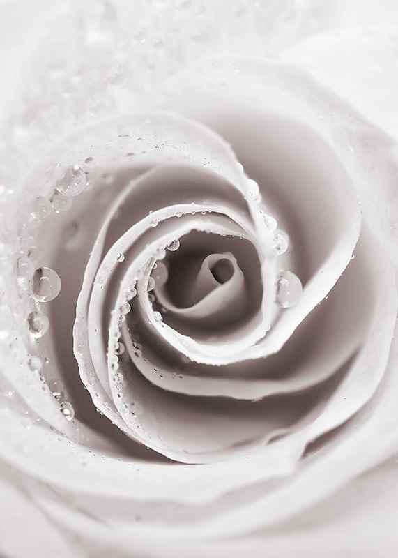 Bright Pink Rose No1-3