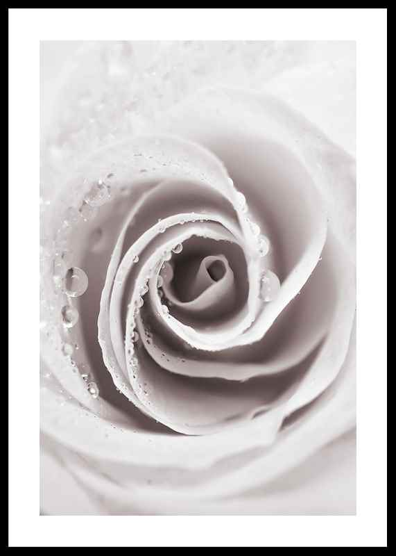 Bright Pink Rose No1